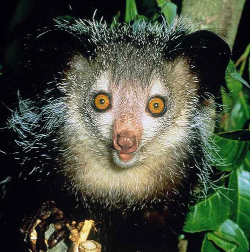 Мадагаскарская руконожка или неведома зверушка ай-