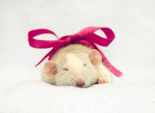 Милые и трогательные крысы